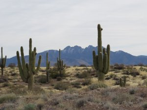 Saguaros with snow-capped mountains in the background.