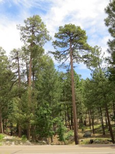 Across from the visitor's center - more conifers! And cool, cool air.