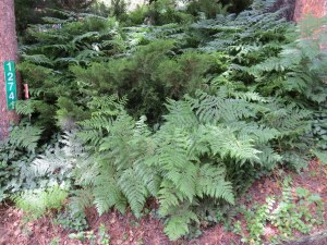 Beautiful ferns in front yard at the yard sale.
