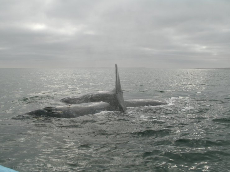 Whale mama and her baby, Guerro Nego, Baja California Sur.