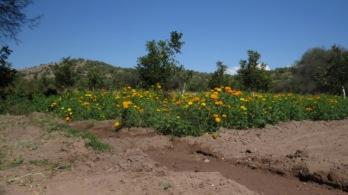 Marigolds for Dia de los Muertos.