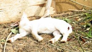 goat sunbathing