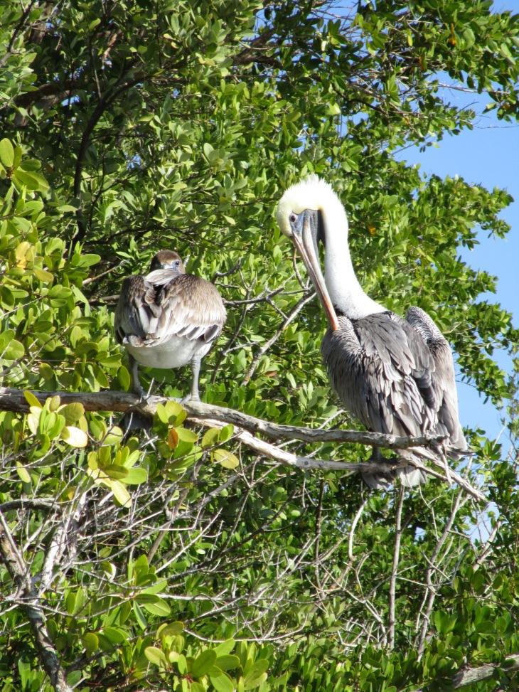 4-pelican