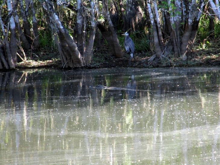 7-alligator