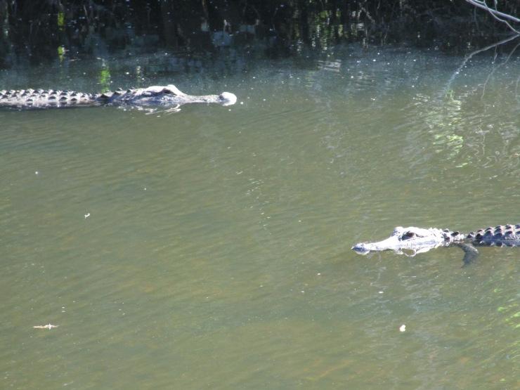 7a-alligator