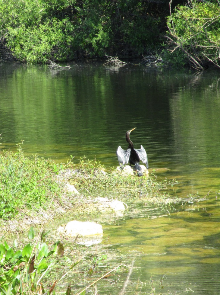 8-anhinga drying