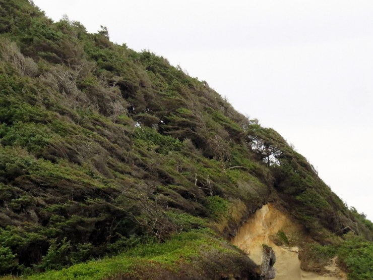 Neptune State Park, S. of Yachats - see how blown back the trees are!