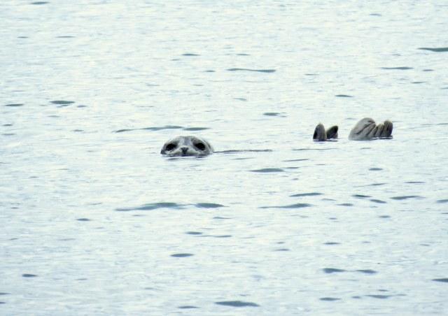 Sweet little harbor seal.