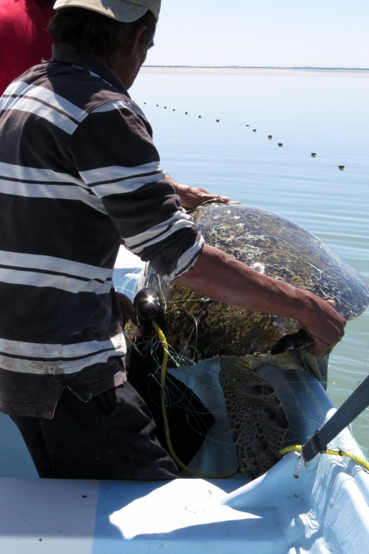 Getting turtle into boat